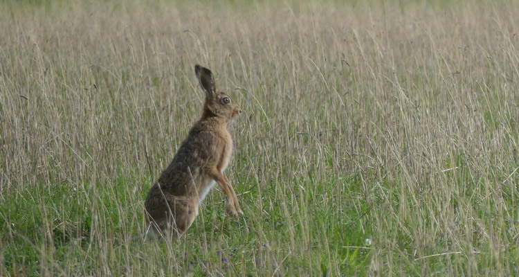 Riverbank hare